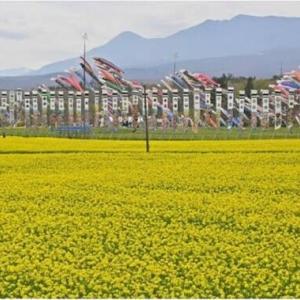 ◆黄色い海を泳ぐ 菜の花とこいのぼりが競演!