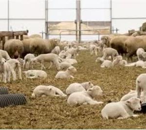 ◆羊出産ピーク・・・・母子手帳か゛貰える