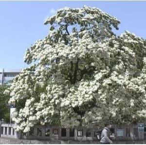 ◆雪のように真っ白な花「ヒトツバタゴ」が見頃 !