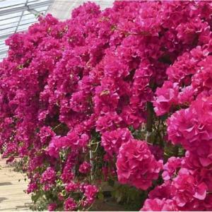 ◆ふくしま花だより〕ブーゲンビリア、鮮やか熱帯の赤
