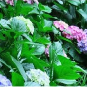 ◆【梅雨入りの影】アジサイが、次の年には違う色に……なぜ色が変わるの?