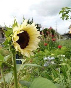 夏の花、夏野菜、キューリのキューちゃん