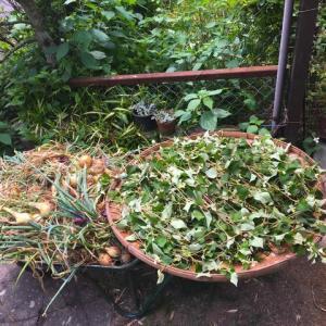 タマネギ収穫 & ドクダミ酒 & 工房整理