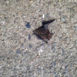 コウモリの死骸を見つけました