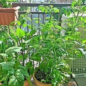 我が家の家庭菜園6 これは失敗なのかな?