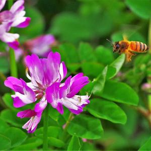 れんげ草とミツバチ
