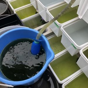 メダカの水替えで、水道水を直接入れる奥様