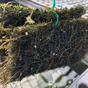 トンネル型の産卵床を使ってメダカの採卵をしてみよう
