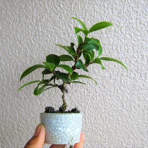 梅雨のミニ盆栽いろいろ