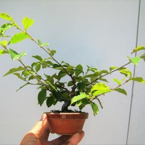 菜園の盆栽と果樹