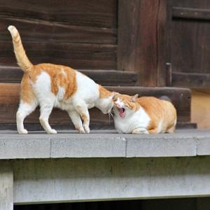 見てほのぼの♪お寺のかわいい白茶猫さん達