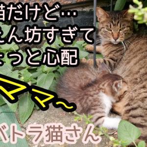 子猫だけど甘えん坊過ぎてちょっと心配なサバトラ猫さん