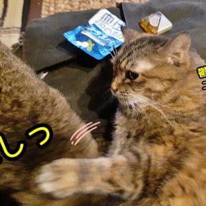 甘えん坊のチビにも容赦のない猫パンチなニャポ団長!