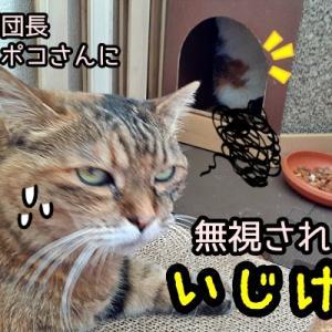 ニャポ団長新入り猫ポコさんに無視されていじけるw