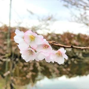 四季桜 本田山遊歩道の紅葉と桜の共演