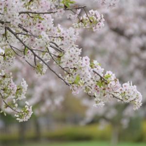 令和2年の桜