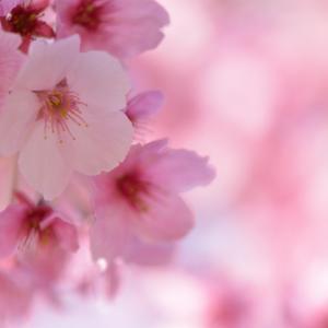桜 他いろいろ