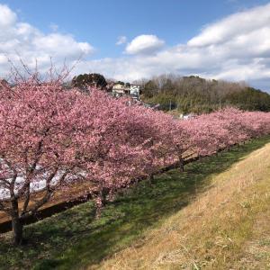 我が町の河津桜