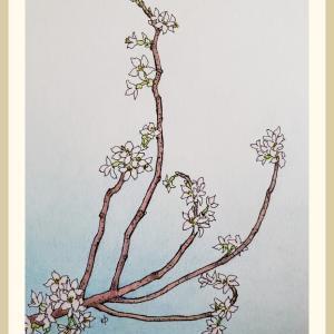 イラスト「桜咲く」
