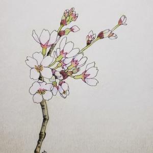 イラスト『桜咲く』②