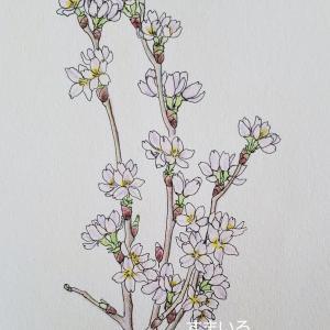 デッサン「桜」