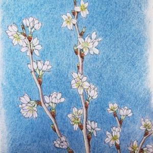 イラスト「桜」