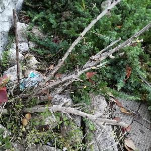鋭いとげのある木 メギをやっつけた