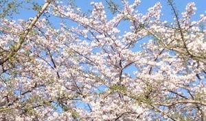 【ショートショート】満開の桜と外出自粛の週末