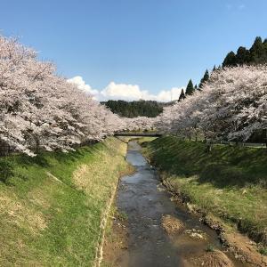 今年の桜 倶利伽羅塾 2020年
