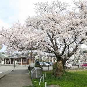 2020年 本津幡駅の桜