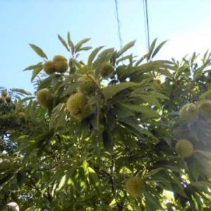 庭の栗の木&きりたんぽ(じいちゃんの料理)