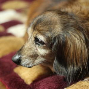 老犬に朗報!何歳からでも加入OKなペット保険「どうぶつ健保しにあ」