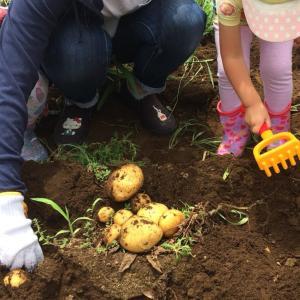 ジャガイモ掘りは明日に延期です