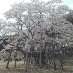 淡墨桜とナックス舞台ライブビューイング