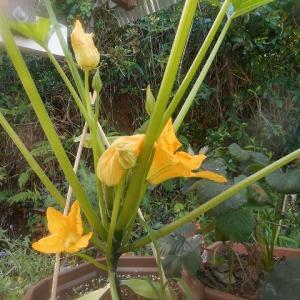 ズッキーニの、お花が咲いたわ☆