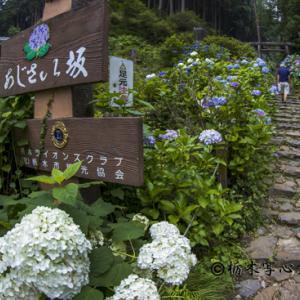 太平山紫陽花撮影会