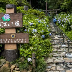 フォト・クルール「太平山紫陽花」撮影