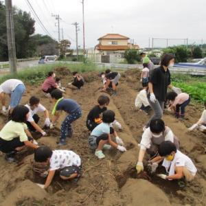 秋恒例さつま芋掘り