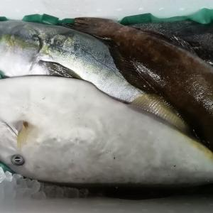 佐渡より天然鮮魚毎日入荷‼️