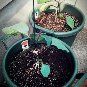 ナスの豊作 サフィニアの挿し芽まとめ 植物の凄み