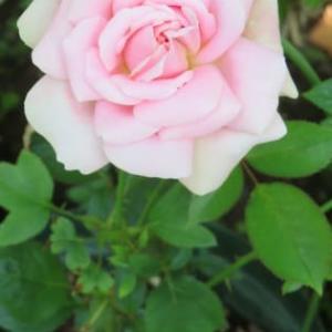 レア品種を殖やすのだ!薔薇の接ぎ木が成功したぞ!
