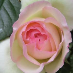 咲いたら嬉しいじゃん!今は薔薇の季節だ!!