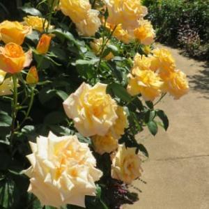 薔薇がマジ綺麗!東武トレジャーガーデンに行こう!(その5)