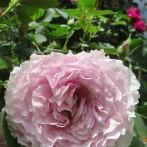 薔薇、咲きまくり! そりゃあもう爆咲きだ!