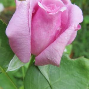 秋の薔薇が綺麗だ!そしてちょっと裏話…☆