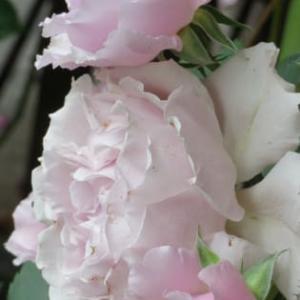 R・O・S・E・!今日は薔薇の日!