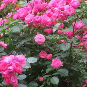 素敵に薔薇を咲かせたい!