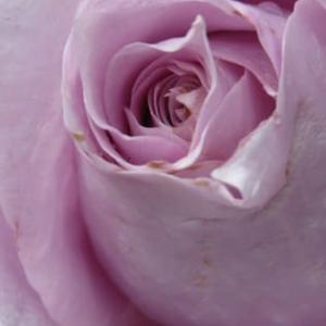 癒しの薔薇!きしんだ心が緩むね!