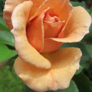 その薔薇、散り際さえも美しく