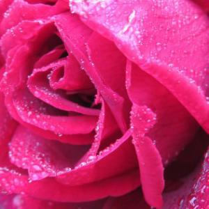 その薔薇、いずれ散るなら濡れて輝け